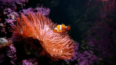 Clown Fish with Anemone — Stock Video