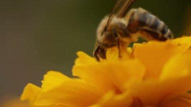 Bee Gathers Pollen — Stock Video