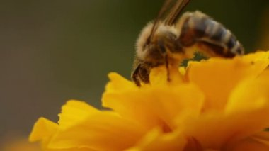 Bee Gathers Pollen — Stock Video