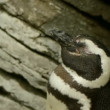Stock Video: Sleepy Penguin Waking Up