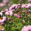 Stock Video: Red Butterfly in Pink Flowers