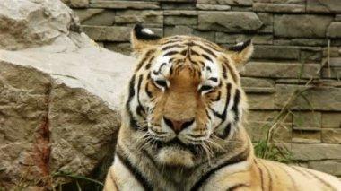 Tiger Turns Head — Stock Video