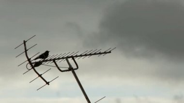 Blackbird Singing on Antenna — Stock Video