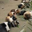 Guinea Pigs Eating — Stock Video