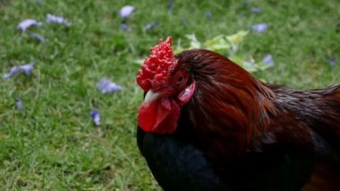Chicken Looks at the Camera — Wideo stockowe