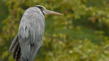 Grey Heron — Stock Video