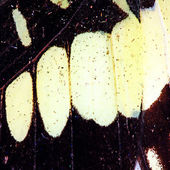 Butterfly wing texture — Stock Photo