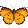 Stock Photo: Monarch butterfly on white background