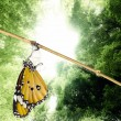 Stock Photo: Monarch butterfly emerging from its chrysalis