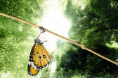 Monarch butterfly emerging from its chrysalis — Stock Photo