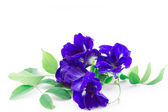 Butterfly Pea isolated — Stock Photo