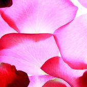 Rose petals background — Stock Photo