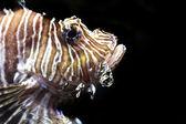 Pesci leone, pterois volitans — Foto Stock
