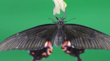 HD Close butterfly emerging from cocoon on green — Vídeo de Stock