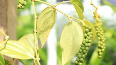 HD Dolly: Fresh Green pepper on tree — Stock Video