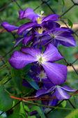 клематис цветок — Стоковое фото