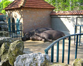 Hippopotamus couple sleeping — Stock Photo