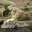 Beautiful male white lion resting — Foto de Stock