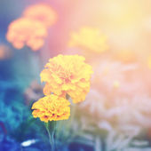 Floral (Tagetes) background — Stock Photo