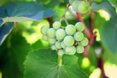 Bunch of green grapes on vine — Stock Photo