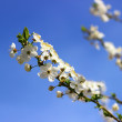 Branch with apricot flowers over blue sky — Stock Photo #42211461