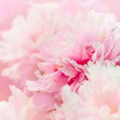 Peony flower background — Stock Photo