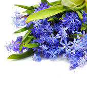 Scilla (Squill) blue flowers on white background — Stock Photo