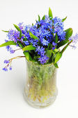 Scilla (Squill) blue flowers on white background — Stok fotoğraf