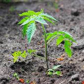 Plant de tomate jeune — Photo
