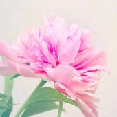 пион цветочный фон — Стоковое фото