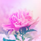 Peony floral background — Stock Photo
