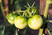 Groene tomaten in de tuin — Stockfoto
