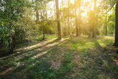 Sunset in the forest — Stock fotografie
