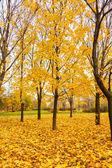 Gul lönn träd — Stockfoto