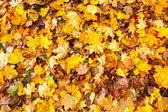 Molti gialli sfondo di foglie d'acero — Foto Stock
