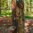 Plantations of rubber trees — Foto de stock #20666739