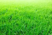 Green rice — Stock Photo