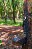 Kauçuk ağaçları tarlaları — Stok fotoğraf