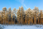 Winter and trees in snow — Stock Photo