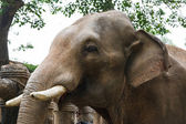 Head of elephant with tusks at the zoo — Stock Photo