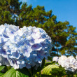 Stock Photo: Blue hydrangeflower