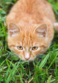 Little red kitten — Foto Stock