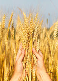 Wheat ears in the women hand — Stock Photo
