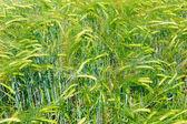 Green wheat ears on the field — Stock Photo