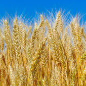 Yellow wheat ears on the field — Stock Photo