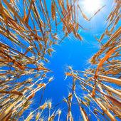 Yellow wheat ears on the field — Stock Photo