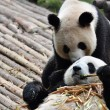 Love of Giant Panda — Stock Photo