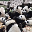 Stock Photo: Group of Giant Panda