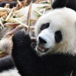 Giant Panda Eating Bamboo — Stock Photo