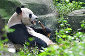 Dominant Giant Panda — Stock Photo